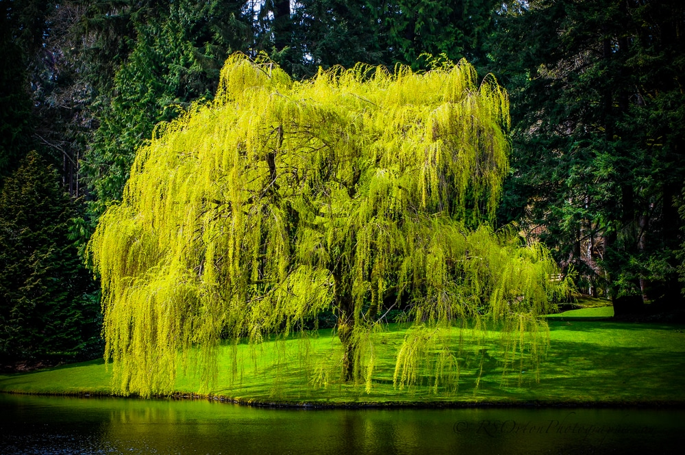 weeping willow tree in the park
