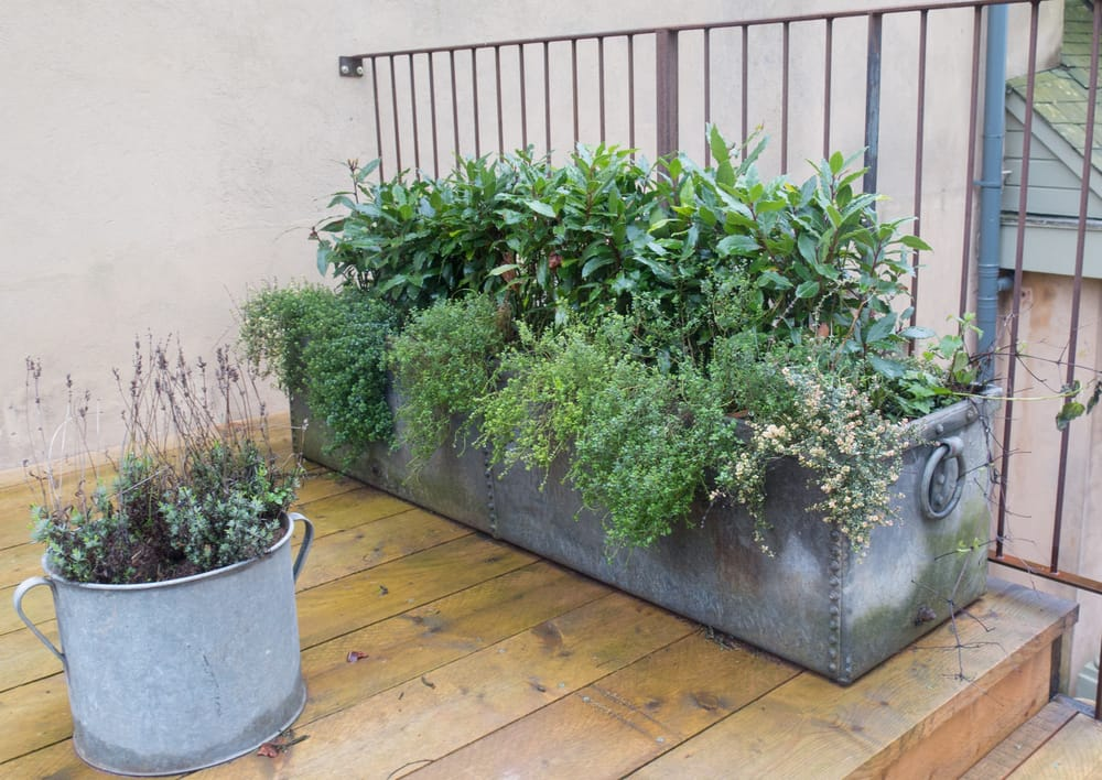 bay tree, thyme and lavender in a metal planter
