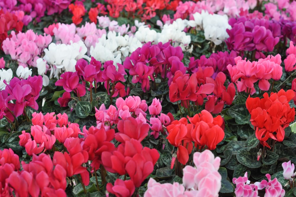 pink, white & red cyclamen persicum