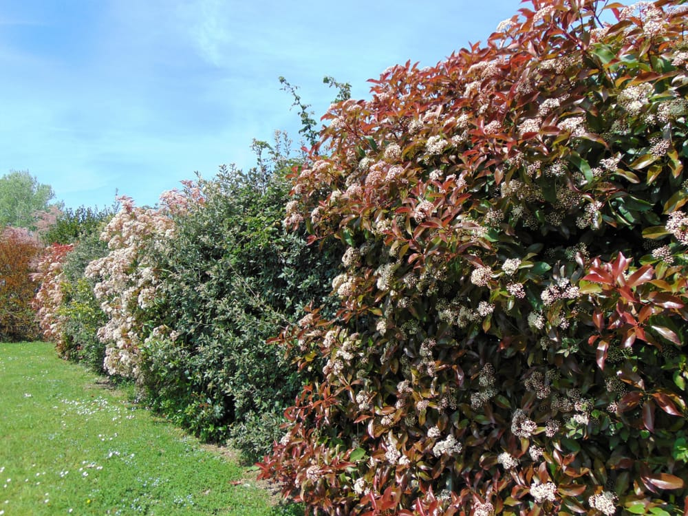 The green and red leaves and white flowers of a Photinia shrub