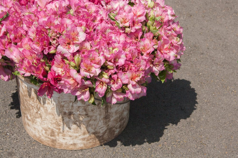 Peruvian lily bouquet in a metal pot