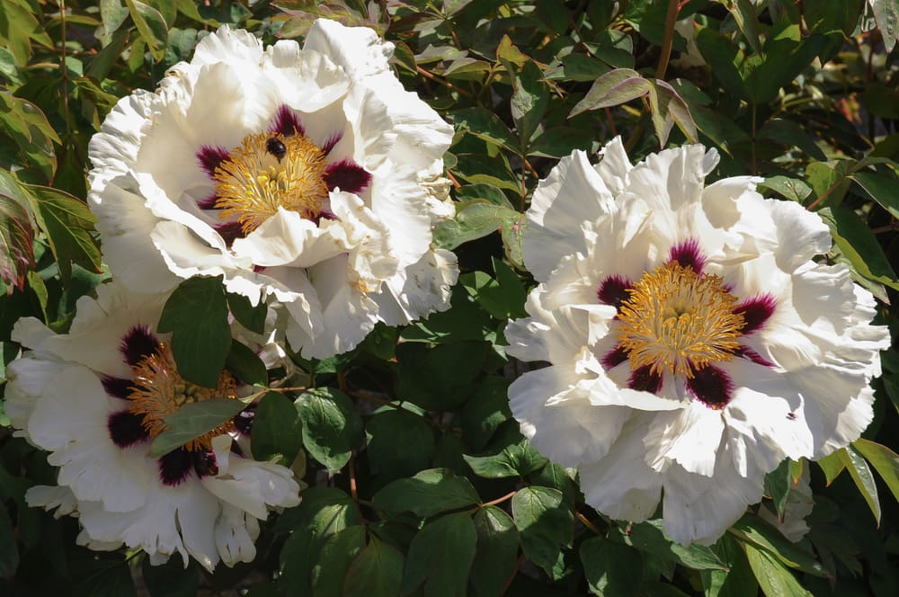 Paeonia 'Rockii' in an English garden