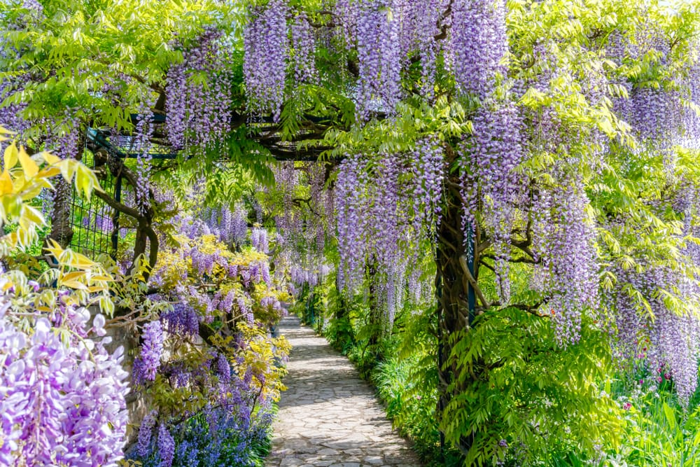 Long purple wisteria plants hanging over a path
