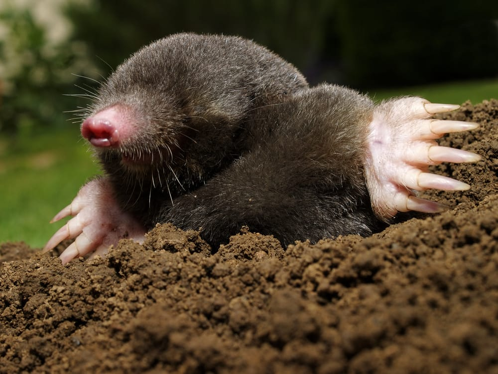 close up of a mole surrounded by earth