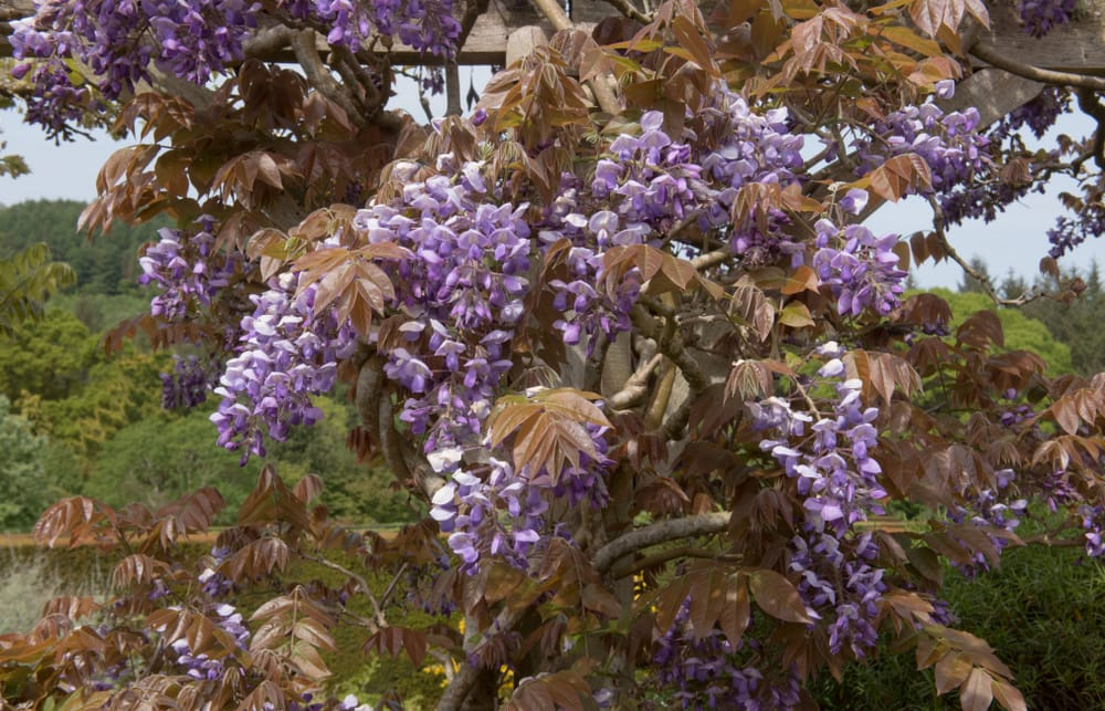 Rustic colours of chinese wisteria
