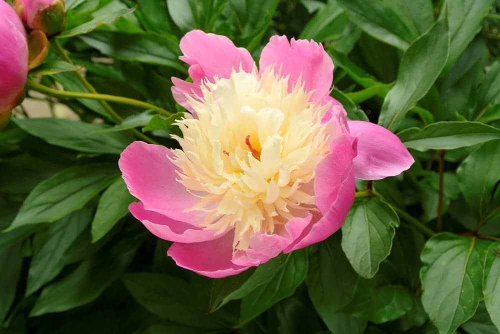 bowl of beauty flowering in Yorkshire, UK