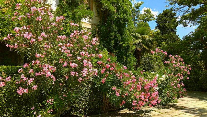 building with vines surrounded with gorgeous pink & white Oleander shrubs