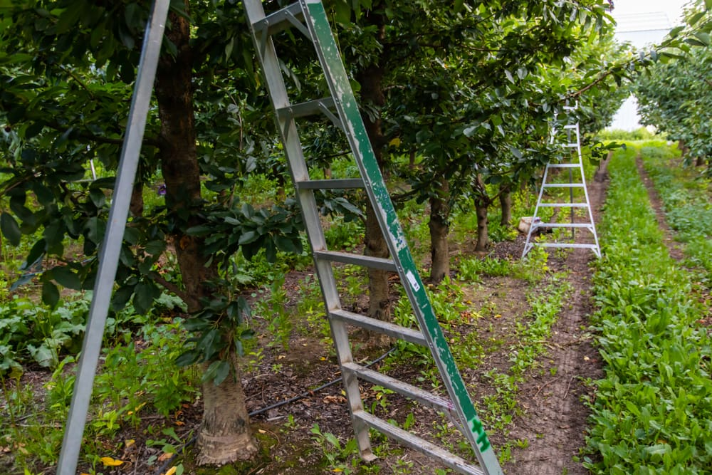 tripod ladders sat against an orchard tree