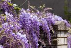 wisteria flowers hanging over garden wall