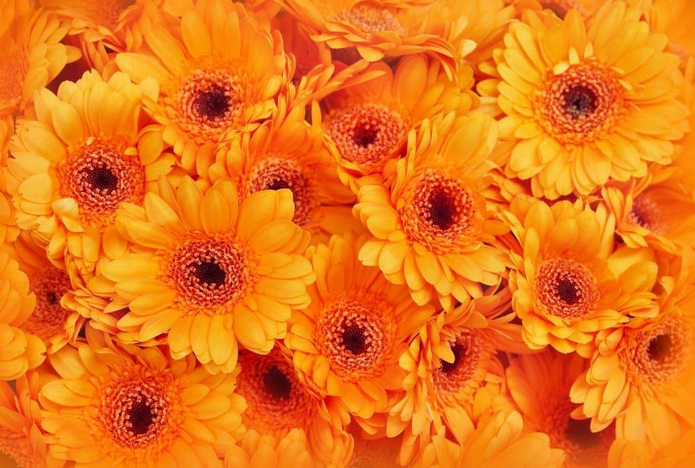 blossoming orange gerbera flowers