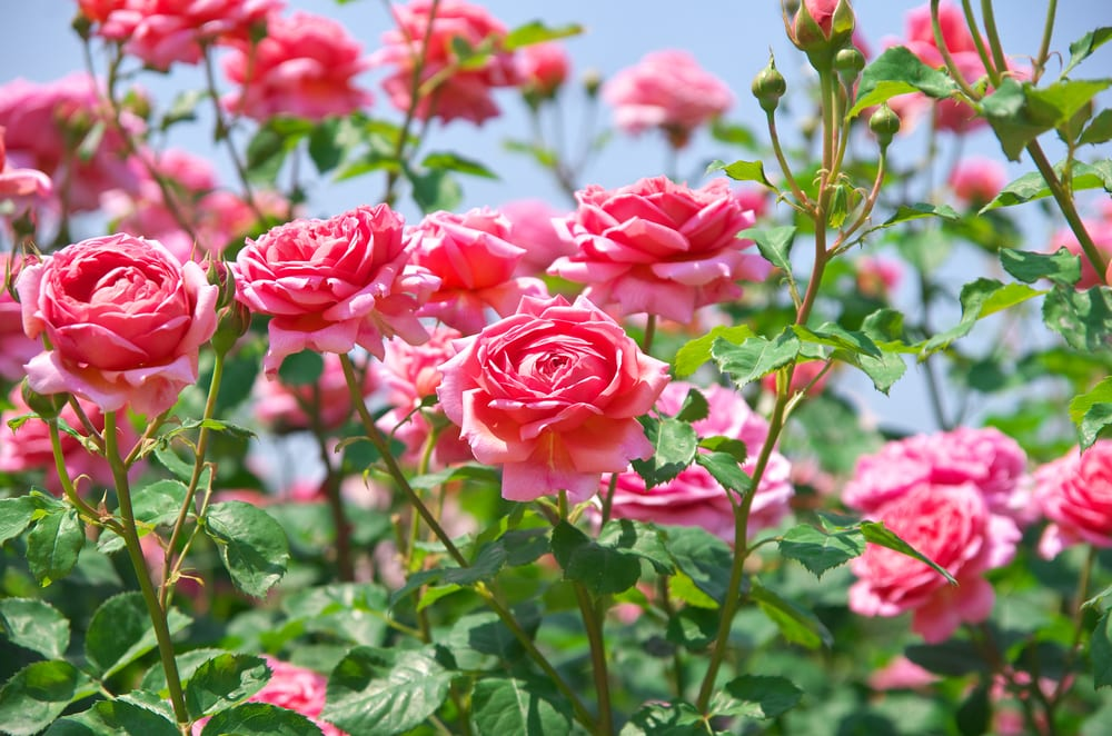 bright pink roses with green branches