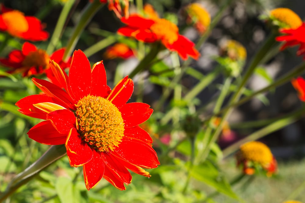 mexican sunflowers in the garden