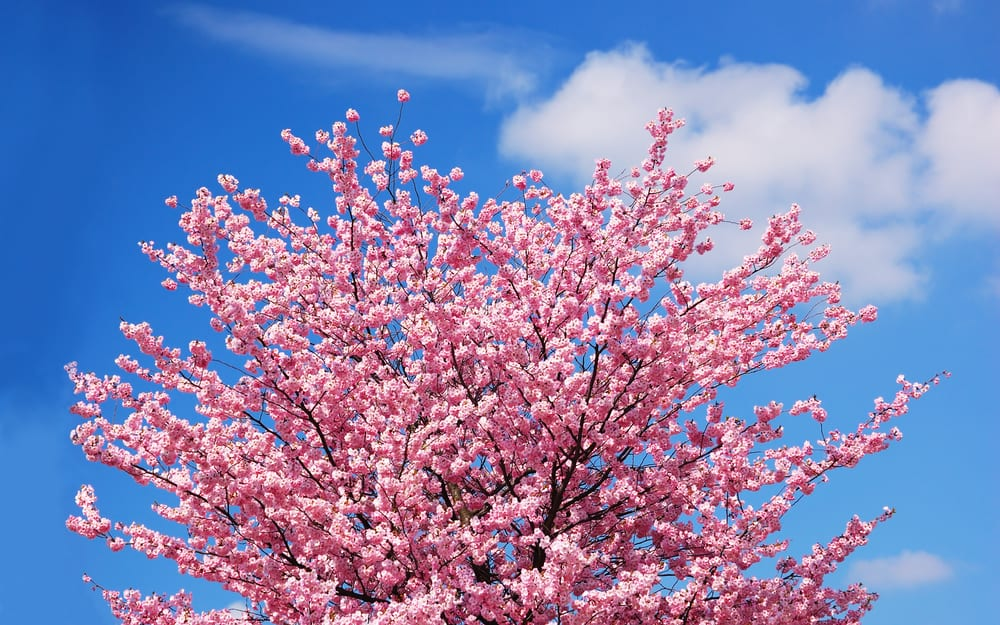 blooming pink cherry tree against a blue sky with clouds