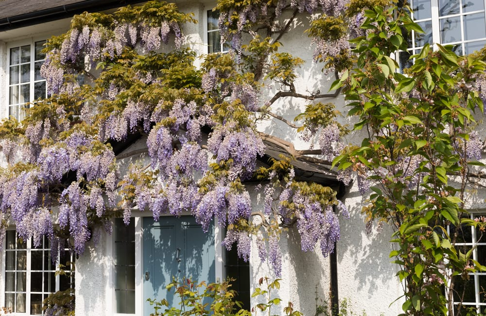 wisteria flowers draped on the outside of an english cottage