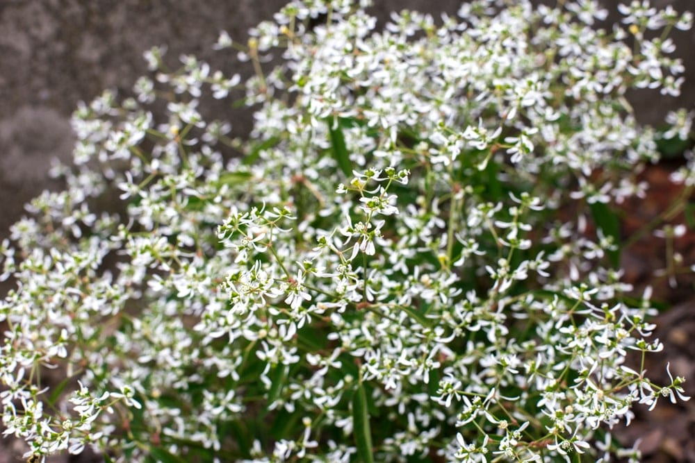 small white flowers of Diamond Frost