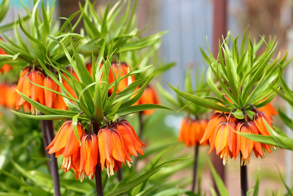 bright orange asiatic lillies with spikey green leaves