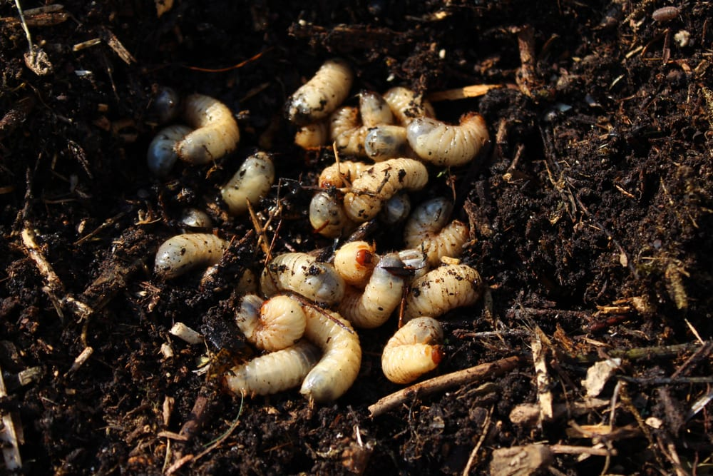 rose chafer larvae in a compost pile