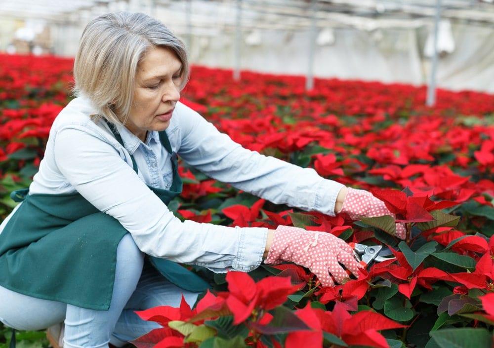 woman tending to poinsettia plants
