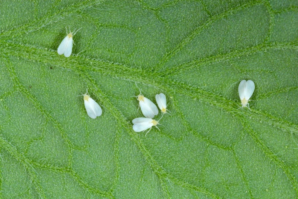 closeup of whiteflies on a leaf