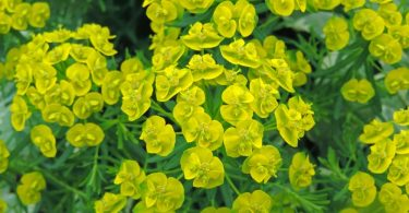 yellow flowers of Cypress spurge Euphorbia