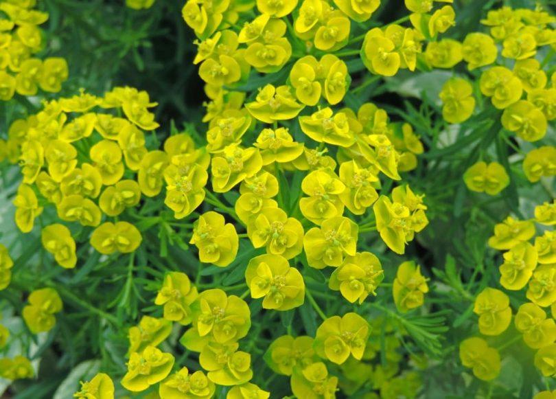 yellow flowers of Cypress spurge Euphorbia