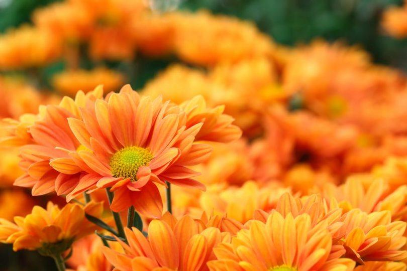 lots of orange flowers