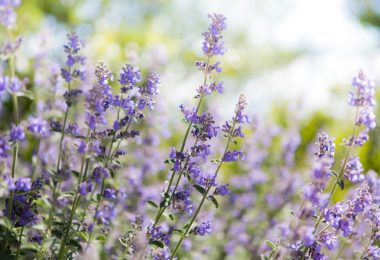 catmint (nepeta lavender) flowers in focus