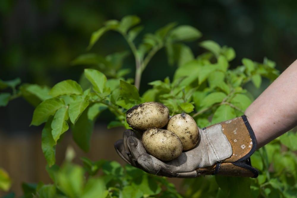 man with gardening glove holding muddy potatoes