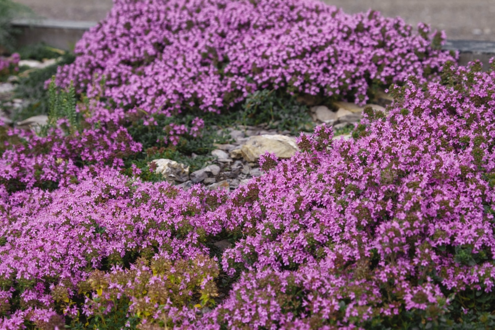 Pink flowers of herb thyme growing on the ground