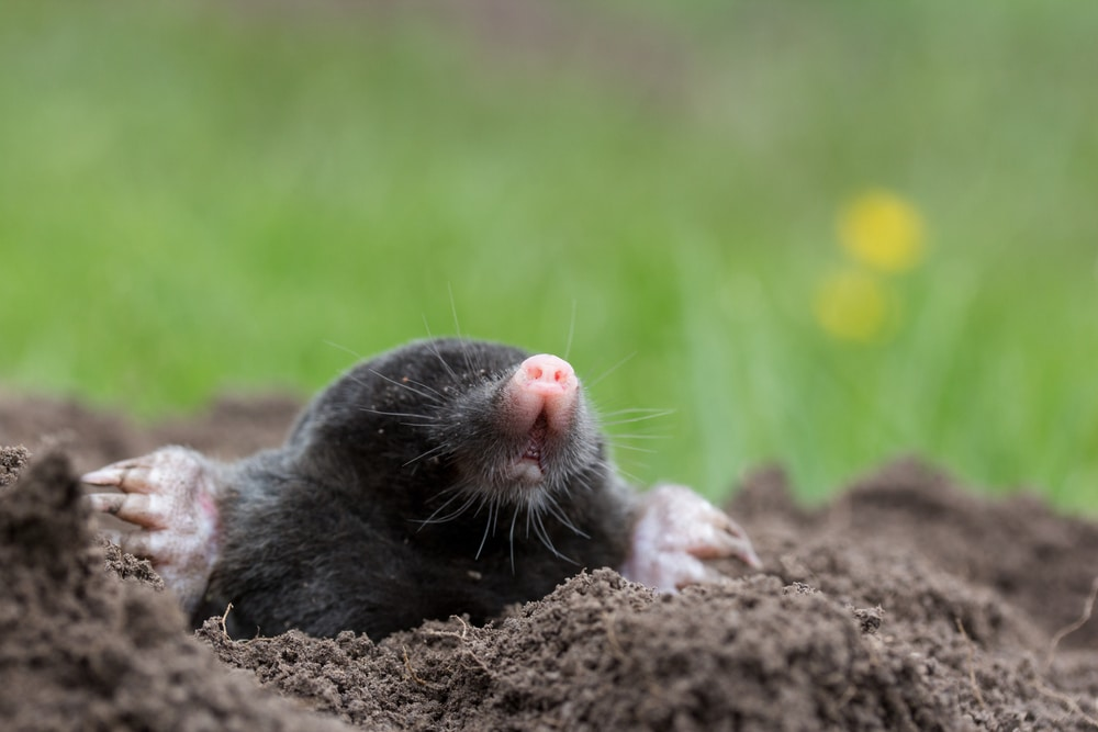 young mole protruding from soil with grass in background