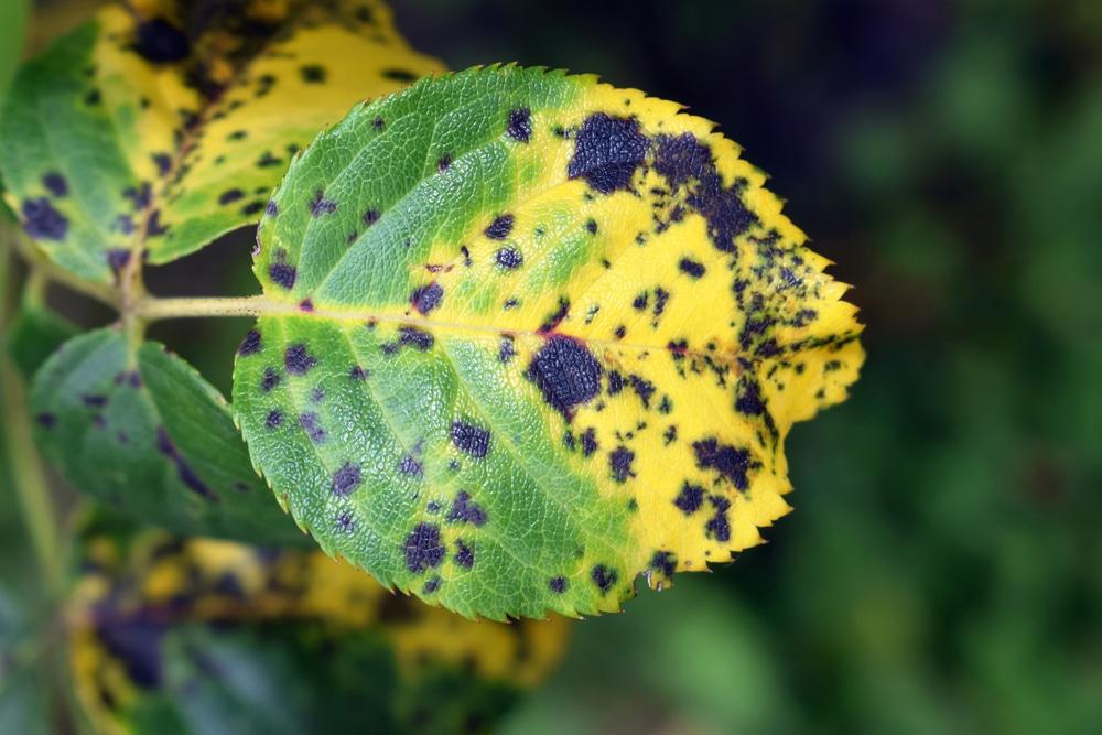 Fungal disease (black spot) on rose petals