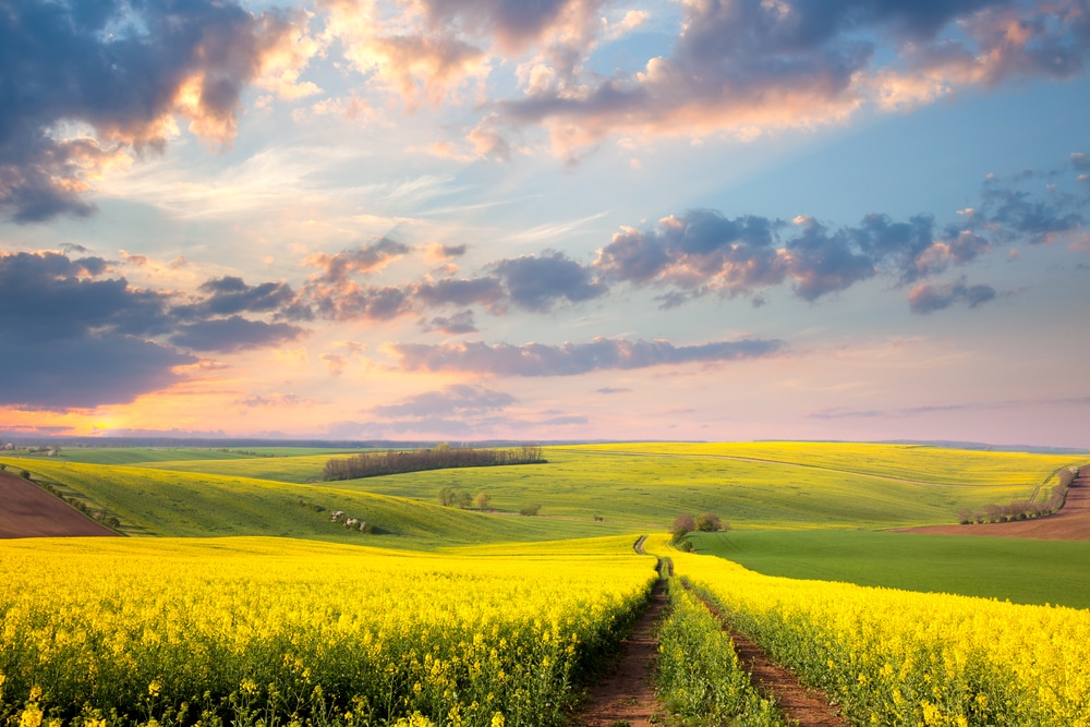 Yellow flowering fields in spring