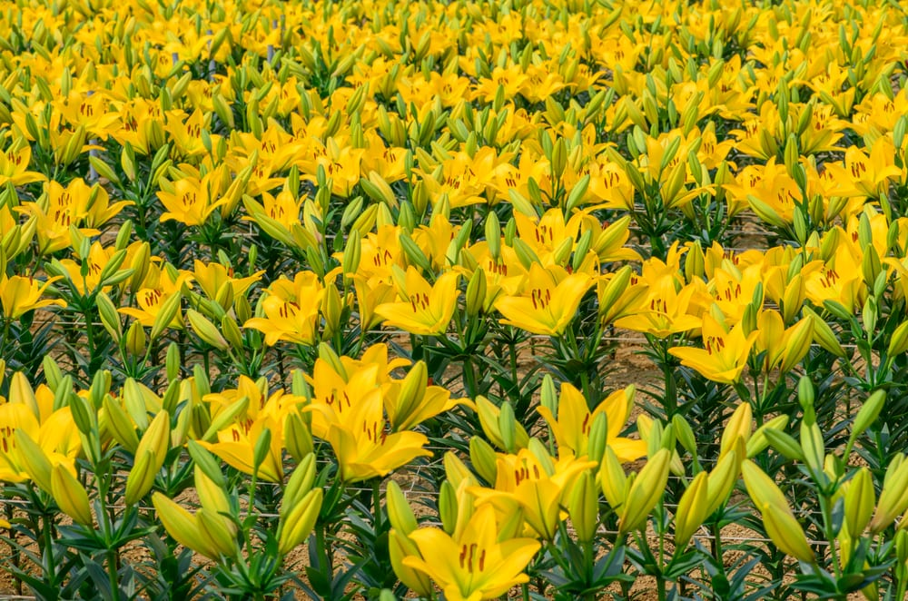 Bright yellow Lilium grand cru growing in a field