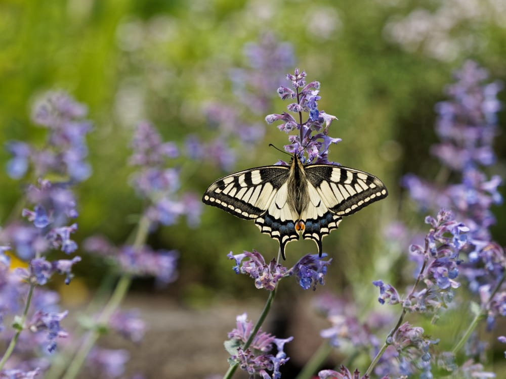 a swallowtail butterfly sat on catmint blossoms