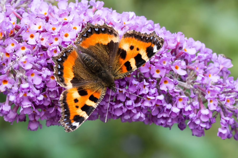 Small Tortoiseshell butterfly on Buddleia flower