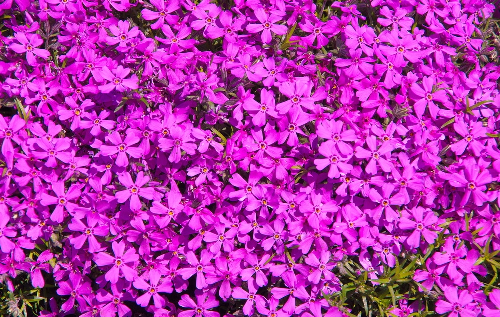 Purple flowers of phlox subulata