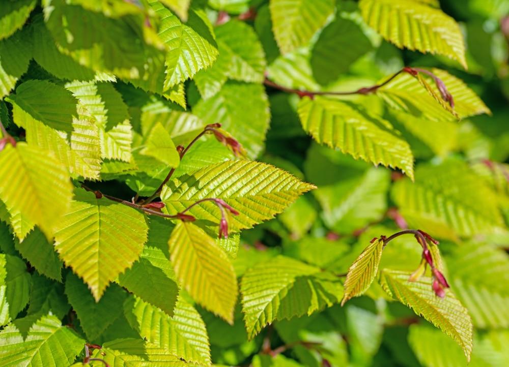Light green leaves of hornbeam in spring