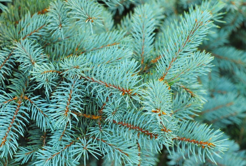 Blue pines of spruce branches