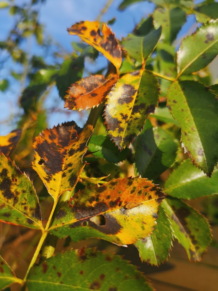 Dark brown and yellow rose leaves infected with black spot