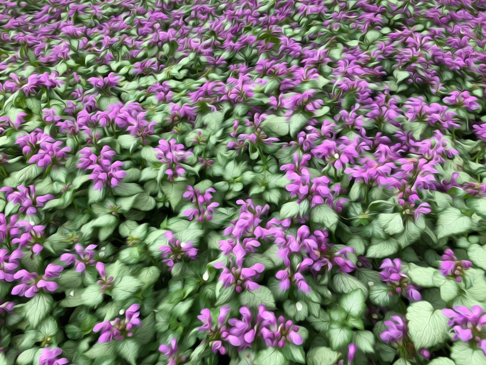 A bed of spotted deadnettle