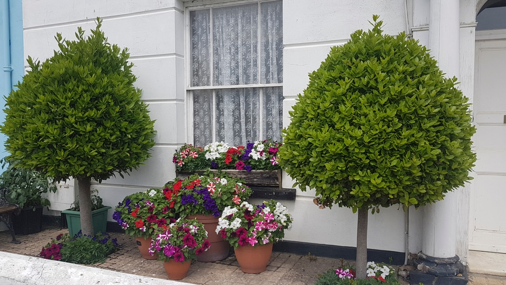 Small topiary bay trees and pots of  petunias outside a white painted house