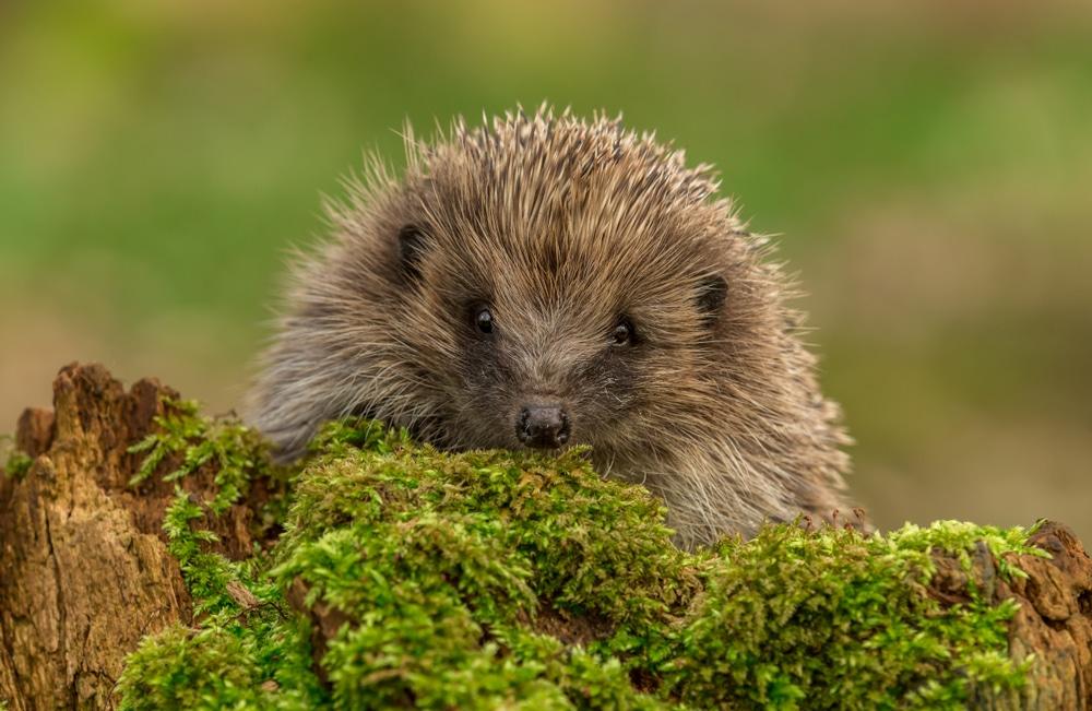 European hedgehog on green moss