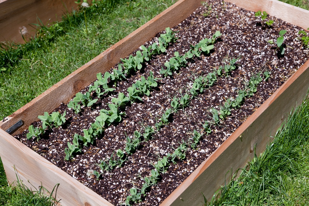 A wooden raised garden bed with young seedlings