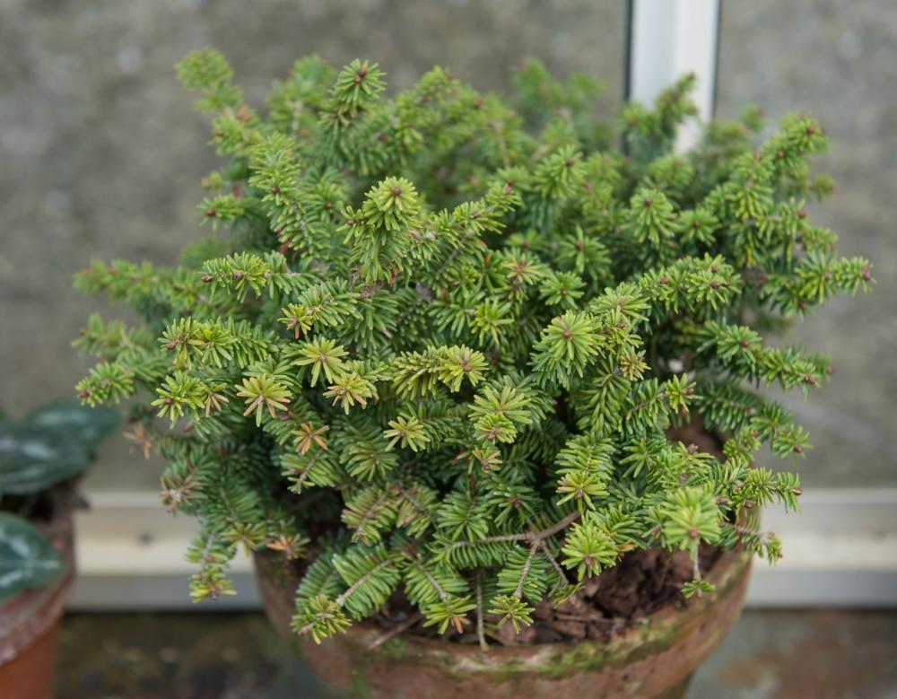 A potted evergreen Dwarf Balsam Fir Tree