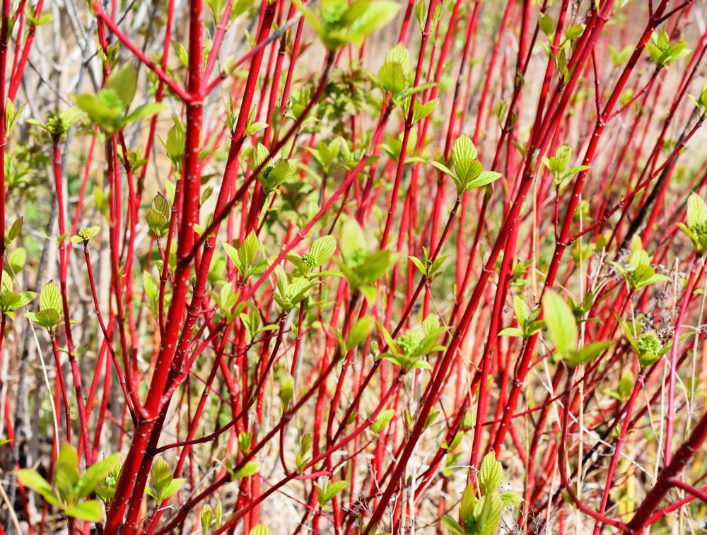 The red stems of a Cornus alba siberian
