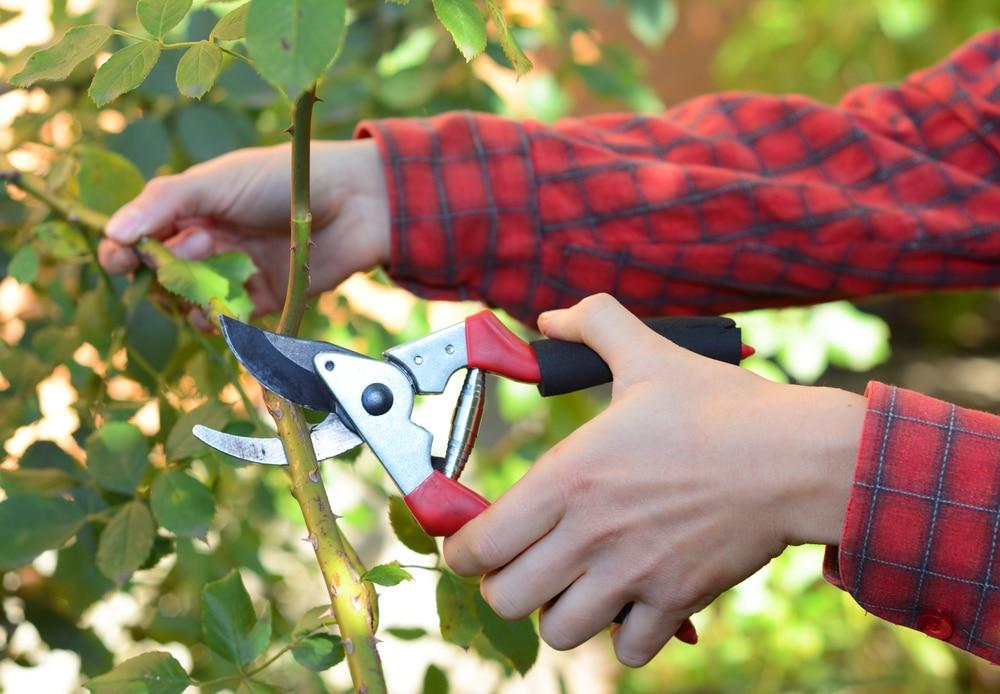 A gardener pruning a rose bush to encourage flowering