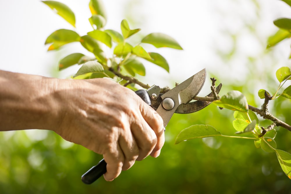 man pruning trees with secateurs