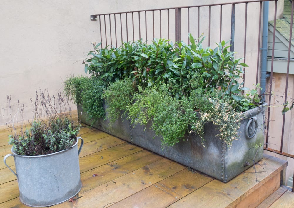 bay tree, thyme and lavender growing in metal planters on garden decking
