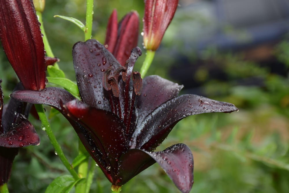 black lily flower with backdrop of garden