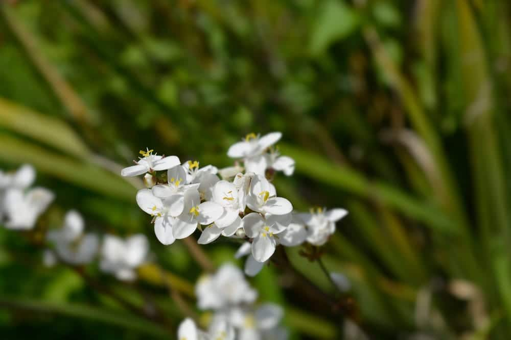 close up of white flowers from libertia (New Zealand satin flower)
